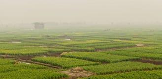 В тумане раннего утра в полях рапса стоковые фотографии rf