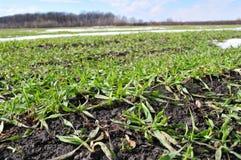 К озимой пшенице paula к предыдущая весна Стоковое Изображение RF