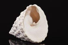 в форме Верхн раковина моря улитки моря Trochus изолированная на черной предпосылке Стоковое фото RF