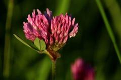 в форме Сердц цветок красного клевера стоковые фотографии rf