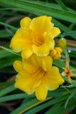 В цветках фокуса 2 яркий ослеплять желтого цвета сирени на предпосылке зеленых листьев стоковые фотографии rf