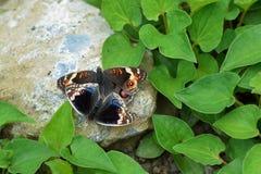 Влюбленность бабочки Стоковое Изображение