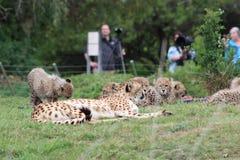 Влюбленность гепарда стоковые изображения rf