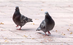 Влюбленность 2 голубей на тротуаре Стоковое Изображение RF