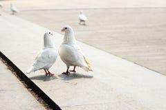 Влюбленность голубя Стоковые Фотографии RF