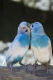 Влюбленность длиннохвостого попугая Стоковая Фотография