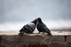 Влюбленность и голуби Стоковая Фотография