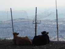 Влюбленность коровы стоковая фотография