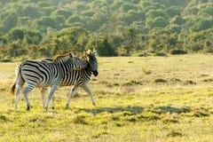 Влюбленность на утесах 4 - зебра Burchell Стоковые Фото