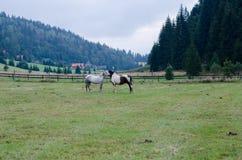 Влюбленность лошадей Стоковое фото RF