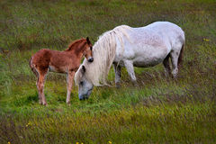 Влюбленность лошади и осленка матери стоковая фотография rf