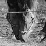 Влюбленность лошади, desaturated изображение Стоковое Фото