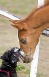 Влюбленность собаки и лошади Стоковое Изображение RF