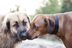 Влюбленность собак Стоковые Фотографии RF