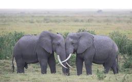 Влюбленность слона Стоковое Изображение RF