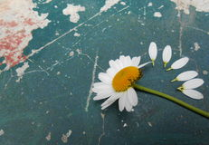 Влюбленность цветка маргаритки Стоковые Фото