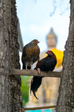 Влюбленность цыпленка Стоковая Фотография RF