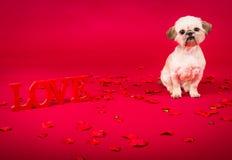 Влюбленность щенка Pekingese Стоковая Фотография