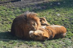 Влюбленность льва стоковая фотография