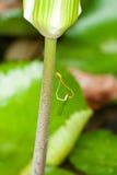 Влюбленность Dragonfly - сопрягая Dragonflies Стоковое фото RF