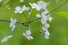 Ð'looming cherry tree. Flowers close up. Selective focus royalty free stock image