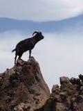 Гаваиская коза Стоковые Изображения