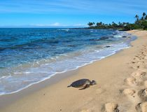Гаваиская черепаха зеленого моря (honu, mydas Chelonia) Стоковая Фотография RF