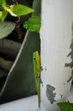 Гаваиские гекконовые взбираясь на вертикальной трубе в джунглях Стоковое Изображение