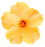 Гаваиский желтый гибискус изолированный на белизне Стоковые Фото