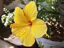 Гаваиский желтый гибискус стоковые фотографии rf