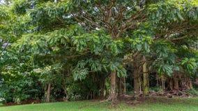 Гаваиский дождевой лес в Koolaus стоковое фото rf