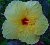 гаваиский hibiscus Стоковая Фотография RF