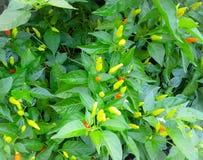 Гаваиское дерево завода перца Chili Стоковое Изображение