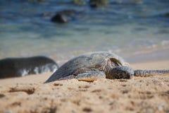 Гавайская зеленая морская черепаха в Мауи, HI стоковые изображения