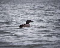 Гагара плавая в волны озера стоковые изображения rf