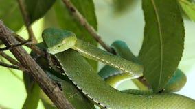 Гадюка ямы зеленого цвета Vogeli сток-видео