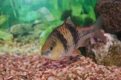 гаечный ключ рыб колючки Стоковое фото RF
