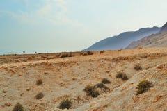 Газели бежать на пещерах Qumran в национальном парке Qumran, походе пустыни Judean, Израиле стоковое фото