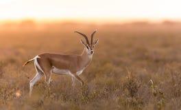Газель в Serengeti, Танзания Grant взрослого мужчины Стоковое Изображение