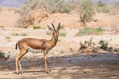 Газель Dorcas (dorcas Gazella) Стоковая Фотография RF