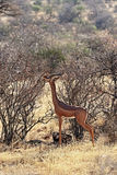 Газель Gerenuks в Африке Стоковые Изображения