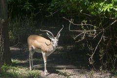 Газель Goitered (subgutturosa Gazella) Стоковые Изображения RF