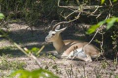 Газель Goitered (subgutturosa Gazella) Стоковая Фотография RF