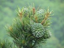 Гайка кедра, зеленый цвет конуса сосны Гайка сосны, шишка сосны, древесина кедра Стоковое Изображение RF