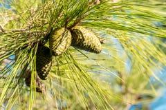 Гайка кедра, зеленый цвет конуса сосны Стоковое Фото