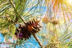 Гайка кедра, зеленый цвет конуса сосны Стоковое Изображение RF