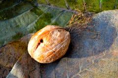 Гайка на листьях Стоковые Фото