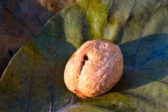 Гайка на листьях Стоковые Фотографии RF