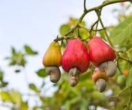 Гайки анакардии растя на дереве Стоковое Фото
