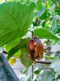 Гайки и листья дерева в саде лета стоковая фотография rf